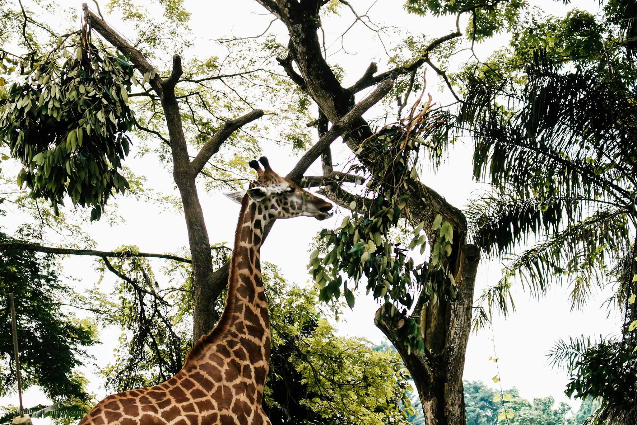 Singapore Zoo - Giraffe